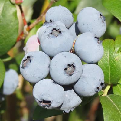 Blueberries ready to be picked